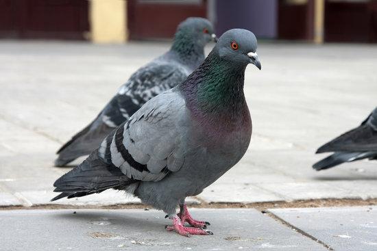 Pombos na rua